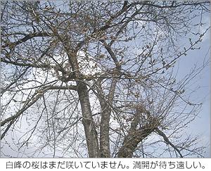 白峰の桜はまだ咲いていません。満開が待ち遠しい。